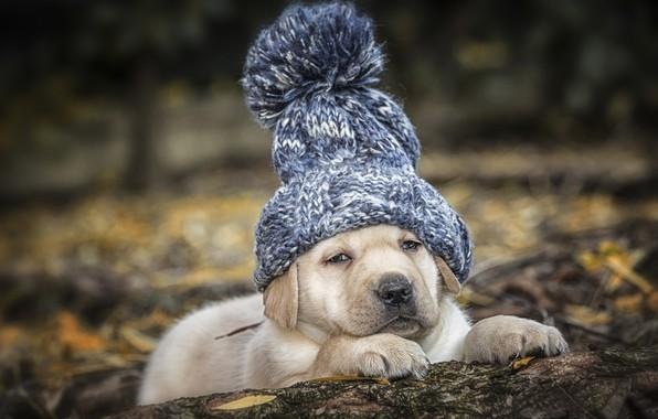 Picture hat, dog, puppy, Labrador Retriever