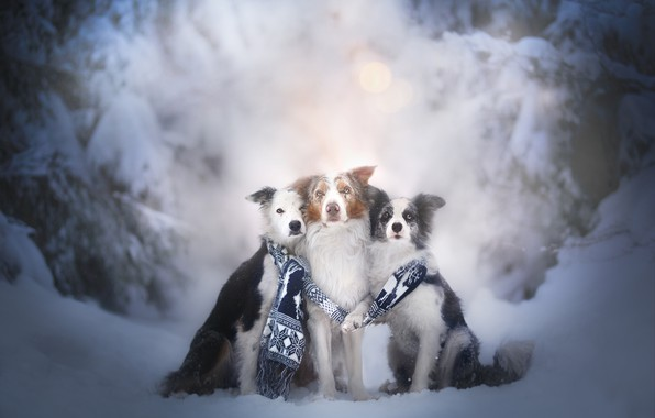 Picture winter, dogs, snow, scarf, trio, friends, Trinity, The border collie