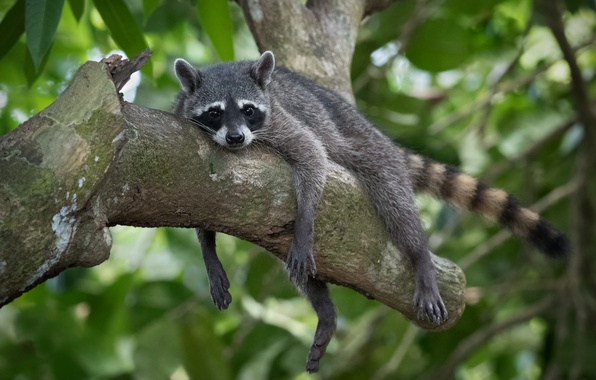 Picture relax, raccoon, snag