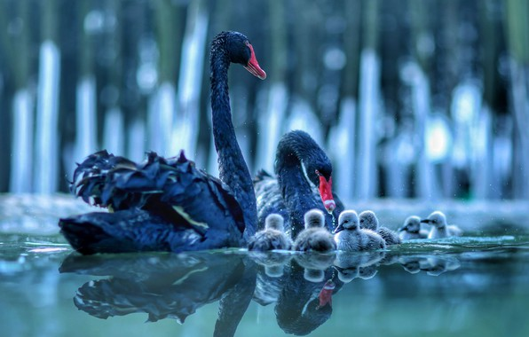 Picture water, birds, reflection, pair, swans, Chicks, cubs, brood