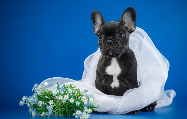 Picture flowers, puppy, veil, French bulldog