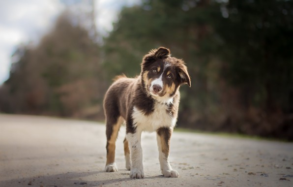 Picture road, dog, puppy
