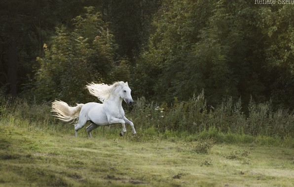 Picture forest, white, movement, horse, horse, speed, stallion, meadow, running, mane, jump, gallop