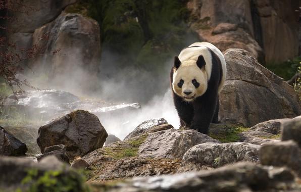 Picture stones, rocks, Panda, zoo, bamboo bear