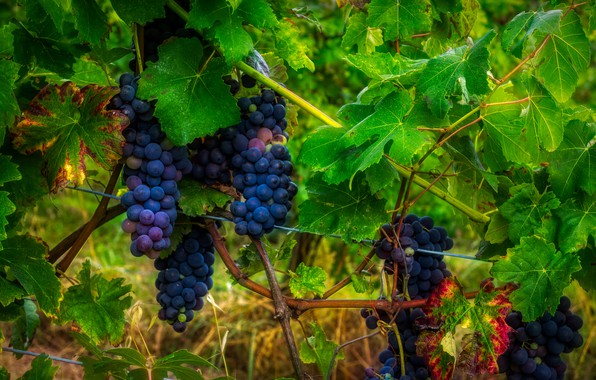 wallpaper grapes leaves vineyard bunches grapes