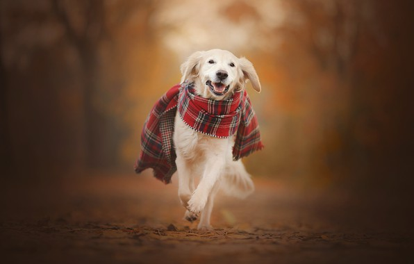 Picture autumn, dog, scarf, walk, bokeh, Golden Retriever, Golden Retriever