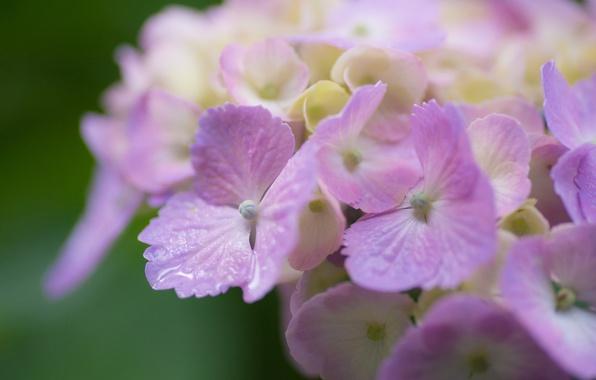 Picture macro, petals, hydrangea, inflorescence