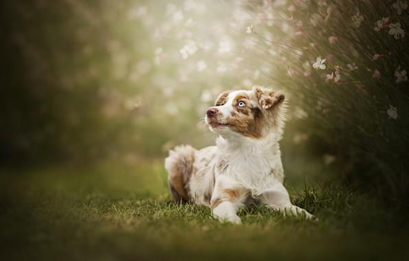 Picture flowers, dog, bokeh, Australian shepherd, Aussie