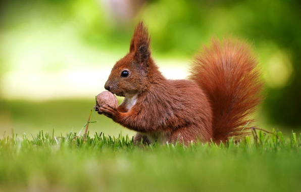 Picture walnut, protein, bokeh, rodent