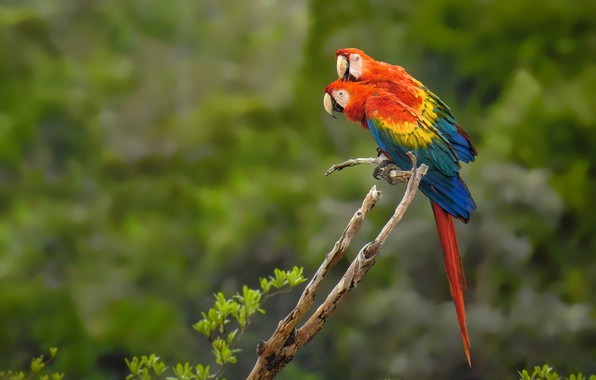 Picture birds, parrots, a couple, Red macaw