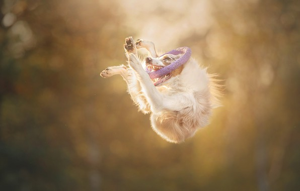 Picture jump, dog, ring