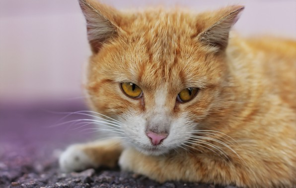Picture cat, look, background, cat