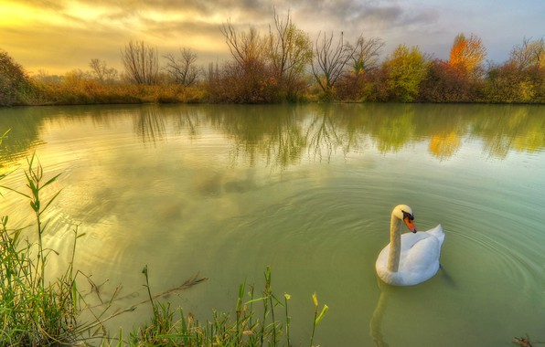 Picture autumn, nature, pond, bird, Swan, grass, the bushes