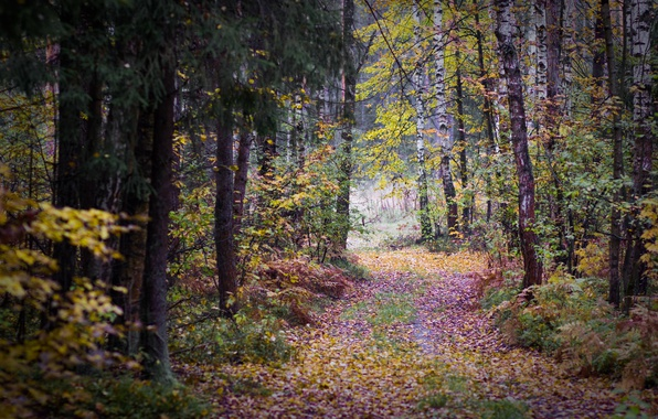 Picture autumn, forest, leaves, trees, overcast, track, birch, gloomy, autumn forest, the bleak autumn