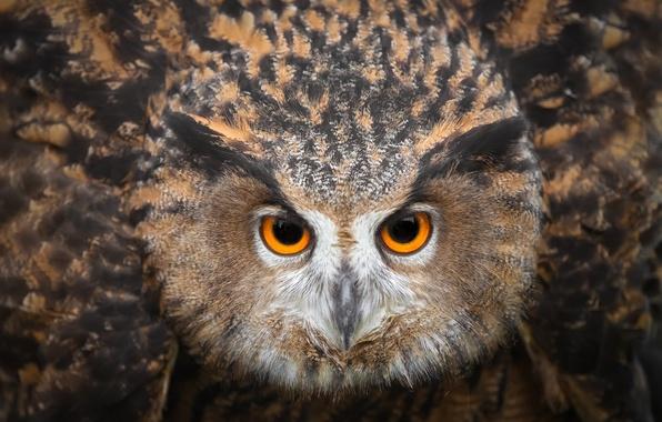Picture eyes, owl, bird, looks