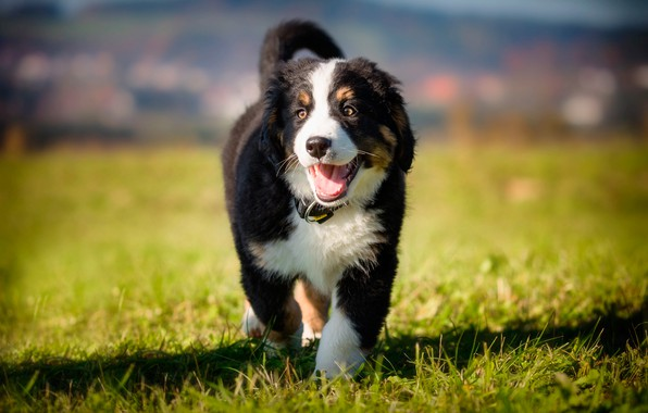 Picture greens, summer, grass, the sun, dog, puppy, lawn, bokeh, Bernese mountain dog