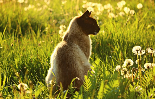 Picture greens, cat, summer, grass, cat, light, flowers, nature, heat, glade, meadow, profile, dandelions, sitting, Siamese, ...