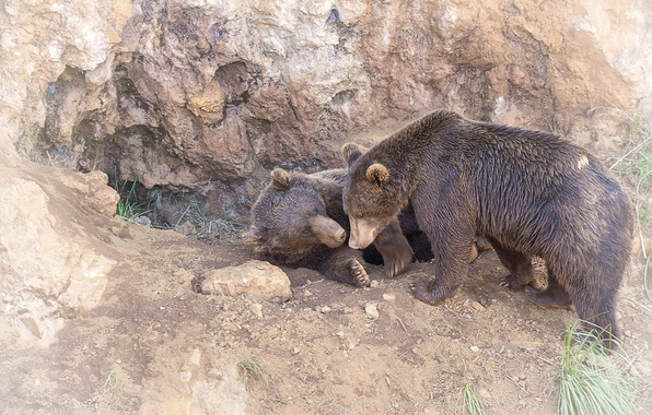 Picture predators, bears, pair