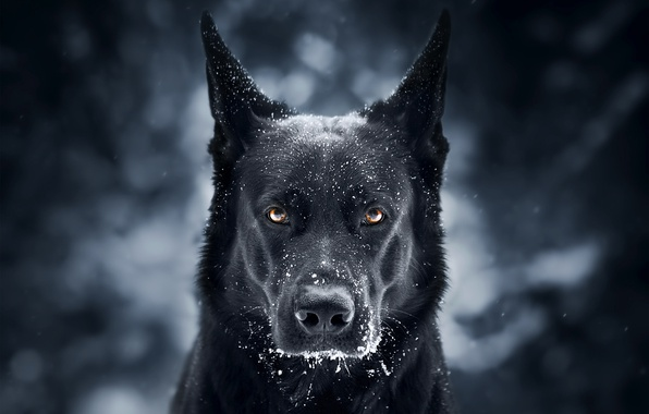 Picture look, face, snow, background, dog, German shepherd