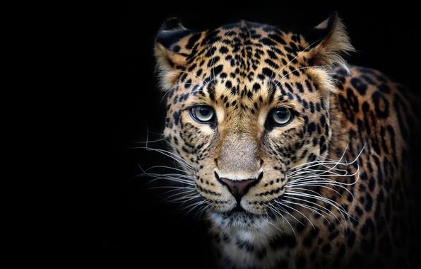 Picture look, face, Leopard, portrait, predator, wild cat, black background
