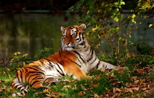 Picture tiger, predator, big cat