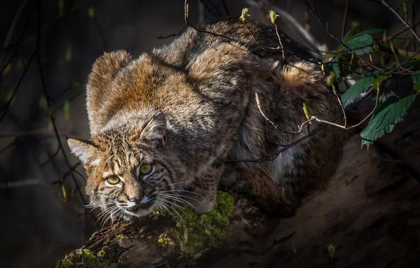 Picture look, log, lynx, wild cat