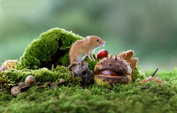 Picture macro, moss, mouse, chestnut, rodent, The mouse is tiny, Harvest mouse