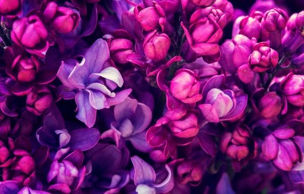 Picture spring, flowering, blossom, flowers, lilac, spring, purple, lilac