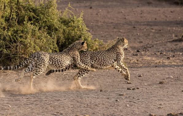 Picture the game, predators, running, pair, Savannah, wild cats, young, cheetahs