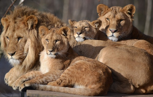 Picture Leo, family, lioness, zoo, cubs, big cat, Safari