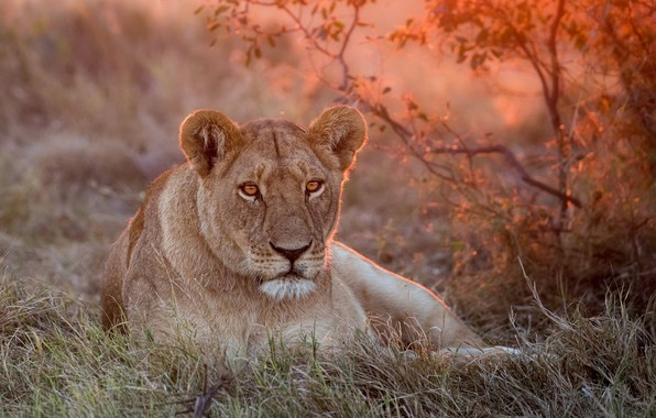 Picture green, Leo, grass, lioness, nature, sunset, lion, lioness, rest, a lion or a lioness