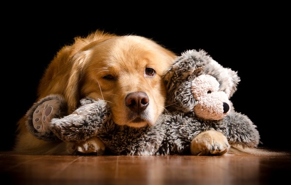 Picture face, red, lies, black background, on the floor, Retriever, soft toy