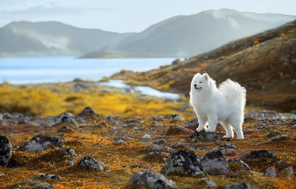 Picture nature, dog, Samoyed