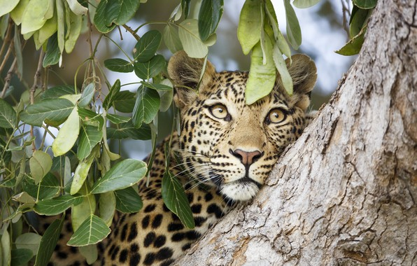 Picture face, leaves, tree, leopard, beast
