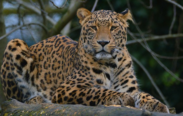 Picture look, face, cats, branches, green, background, portrait, paws, leopard, lies, wild cats, wildlife