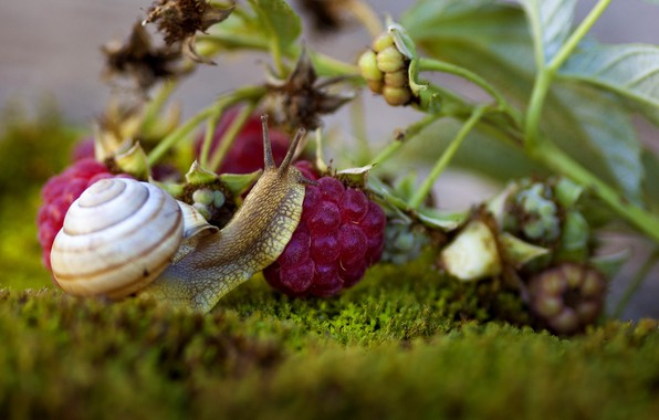 Picture macro, berries, raspberry, moss, snail, branch