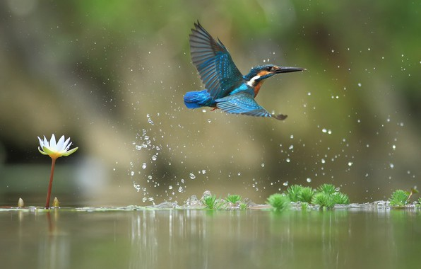 Photo Wallpaper Water Flight Kingfisher Lily Bird