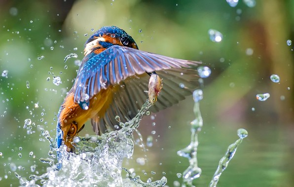 Picture water, squirt, bird, fish, Kingfisher, catch, Kingfisher