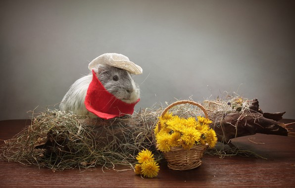 Picture flowers, dandelion, hay, Animal, Guinea Pig