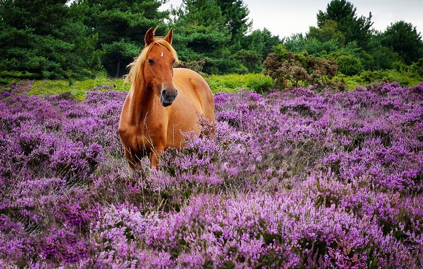 Picture horse, horse, Heather