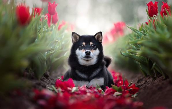 Picture look, flowers, dog, petals, tulips, bokeh, Shiba inu