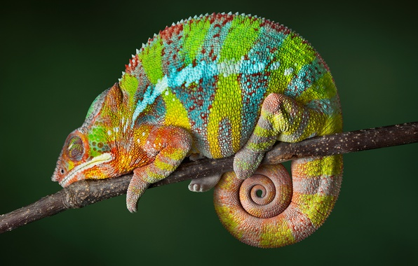 Picture reptile, Chameleon, color changing