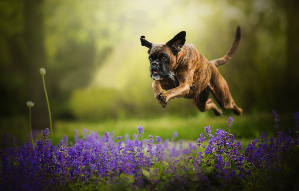 Picture flowers, jump, dog, running, bokeh, boxer, Tini