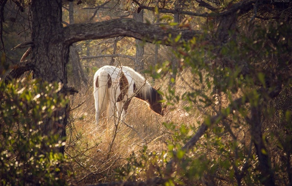 Picture horse, horse, grazing