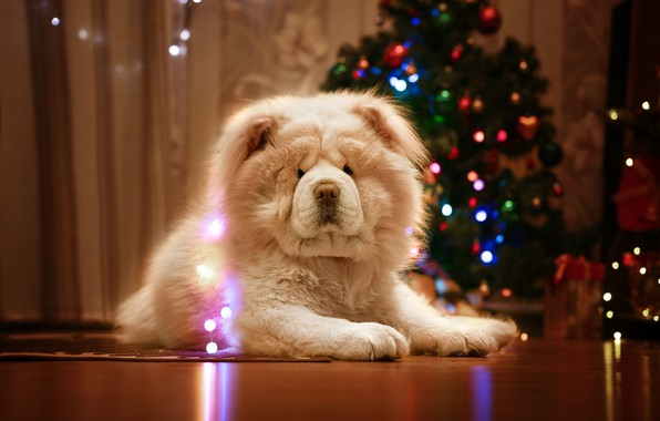 Picture dog, New year, tree, garland, Chow