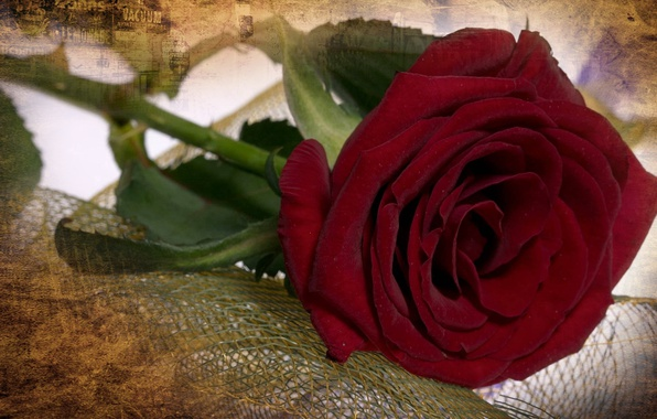 Picture flowers, rose, beauty