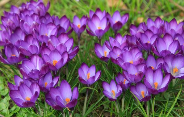 Picture Flowers, Spring, Meadow, Flowering, Crocuses