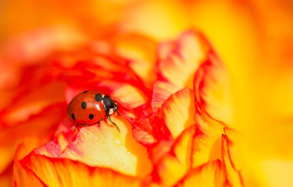 Picture flower, macro, ladybug, beetle, insect, bright, Ranunculus