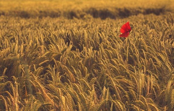 Photo wallpaper field, flower, Mac, ears, Wheat
