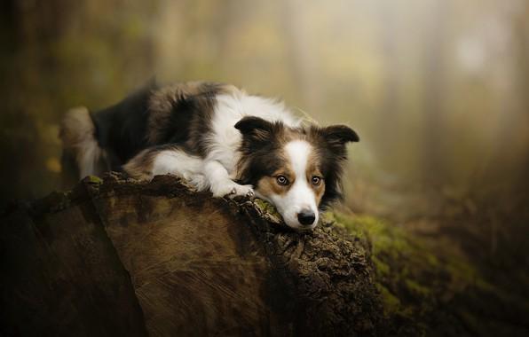 Picture dog, log, bokeh, Theia